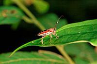 Beetle of borneo, Sarawak, Malaysia
