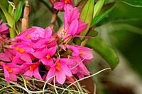 Orchid Flower in the garden, Dendrobium secundum, toothbrush orchid, borneo, asia