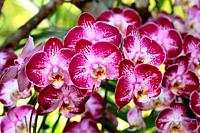 Orchid Flower in the garden, Doritaenopsis, is an intergeneric hybrid between the orchid genera doritis and phalaenopsis, borneo, asia