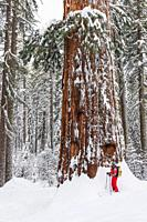 Skier and giant sequoia in the Tuolumne Grove, Yosemite National Park, California USA.