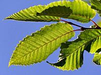 beech leaves in backlit.