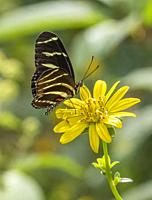 Close-up of Heliconius charithonia, the zebra longwing or zebra heliconian butterfly on a yellow flower.