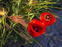 Poppies in spring time. Madrid. Spain. Europe.