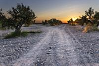 Sunrise on the olive grove road. Pinto. Madrid. Spain. Europe.