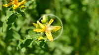 St. John´s wort, medicinal plant with flower in summer in Germany