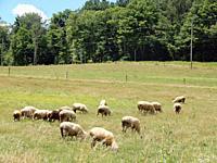 Sheep Grazing in Field, Allegany County, New York, USA.