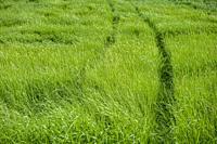 A hillside of tall green grass.