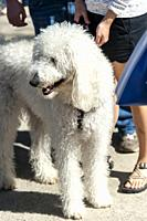 A white poodle-mix dog standing with people.