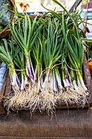 A collection of green garlic for sale at a farmer's market in the spring.