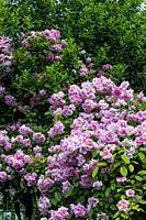 Climbing rose in full bloom in a garden.