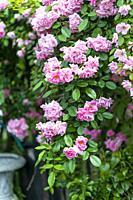 Climbing rose in full bloom in a garden