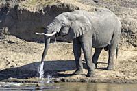 African Elephant (Loxodonta africana) bull drinking water at river, Mara river, Serengeti national park, Tanzania.