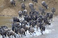 Blue wildebeest, brindled gnu (Connochaetes taurinus) herd crossing the Mara river by jumping in during the great migration, Serengeti national park, ...