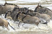 Blue wildebeest, brindled gnu (Connochaetes taurinus) crossing the Mara river during the great migration, Serengeti national park, Tanzania.