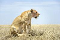 Lioness (Panthera leo) sitting on savanna, looking up, Ngorongoro conservation area, Tanzania.