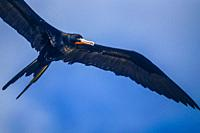 Frigatebird (Fregata) in flight (telephoto). Tabuaeran Atoll/Island (Fanning Island/Atoll), Line Islands, Kiribati, Central Pacific Ocean.