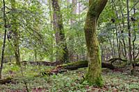 Deciduous stand with hornbeams and oak in summer, Bialowieza Forest, Poland, Europe.