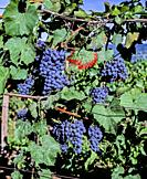 Grapes ready for picking growing in vineyard in the Finger Lakes Region of New York State in the United States.