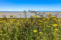 Dense growth of wild flowers on the edge of the Fraser River estuary looking across to Vancouver Island.