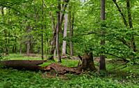 Rich deciduous stand in spring with broken maple tree in foreground, Bialowieza Forest, Poland, Europe.