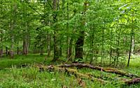 Rich deciduous stand in spring with broken hornbeam tree in foreground, Bialowieza Forest, Poland, Europ.