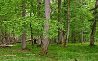 Rich deciduous stand in spring with broken hornbeam tree in foreground, Bialowieza Forest, Poland, Europe.