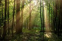 Sunbeam entering rich deciduous forest in misty morning with path crossing, Bialowieza Forest, Poland, Europe.