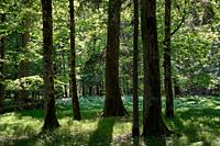 Group of old trees in forest against afternoon light, Bialowieza Forest, Poland, Europe.