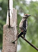 Great spotted woodpecker (Dendrocopos major) male on spruce stump, Bialowieza Forest, Poland, Europe.