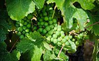 Grapes growing in a vineyard in the Cotes de Duras, Lot et Garonne, Aquitaine, France.