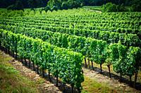 Vineyard in the Cotes de Duras, Lot et Garonne, Aquitaine, France.