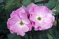 Hybrid rose (Rosa).