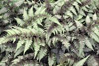 Ghost fern (Athyrium 'Ghost'). Hybrid between Japanese painted fern (Athyrium niponicum 'Pictum') and Lady fern (Athyrium filix-femina).