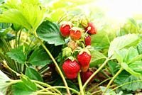 Fresh organic strawberries against sunlight closeup shot.