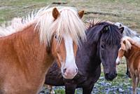 Icelandic horses in the northeast part of Iceland.