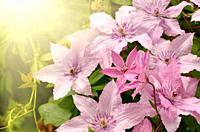 Clematis flower closeup shot against sunlight.