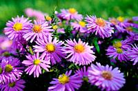Violet asters flowers over background.
