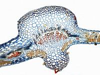 Photomicrography of cross section of cotton leaf. Gossypium sp.