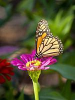 Close-up of a Monarch butterfly, Danaus plexippus, on a flower.