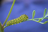 Old World swallowtail caterpillar (Papilio machaon).