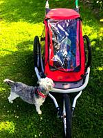 Curious dog, a family pet, checks out a stroller with a baby inside, as if to ask: Who´s in there