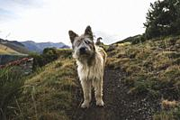 Dog in the middle of the mountain of the Picos de Europa.