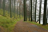 Path thruogh Larch trees in Burtness Wood on the shore of Buttermere in the Lake District National Park, Cumbria, England.