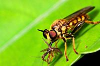 Close up of Robber Fly, borneo