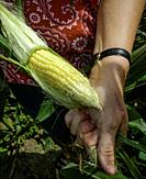 Woman peeling back the husk of freshly picked sweet corn.