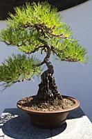 40 year old Pinus thunbergii - Japanese Black Pine bonsai tree in brown planter, Chinese Garden, Montreal Botanical Garden, Quebec, Canada.
