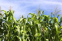 Zea mays 'Dia de San Juan' - Floury Corn plants, Quebec, Canada.