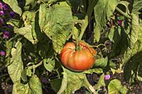 Solanum lycopersicum 'Rose Brandywine' Tomato plant, Quebec, Canada.