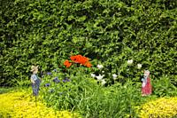 Mixed border with orange Papaver orientale - Oriental Poppy flowers and Lysimachia nummularia 'Aurea' - Golden Creeping Jenny bordered by Thuja occide...