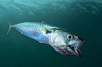 Mackerel filtering plankton, feeding on plankton (Scomber scombrus). Eastern Atlantic. Galicia. Spain. Europe.